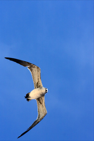 the down of sea gull flying  in the sky in mexico playa del carmen