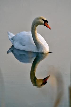reflex: italy reflex front  of little white swan    black eye in the river ticino