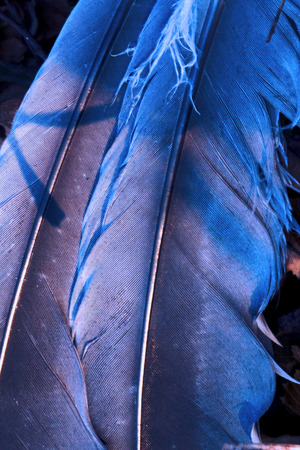 feather front of little  crow plumage blue and abstract light