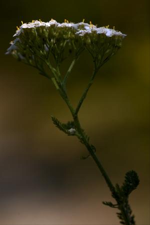 sorbus: macro close up of a yellow white leguminose caprifoliacee viburnum lontana  sambucus nigra in brown background