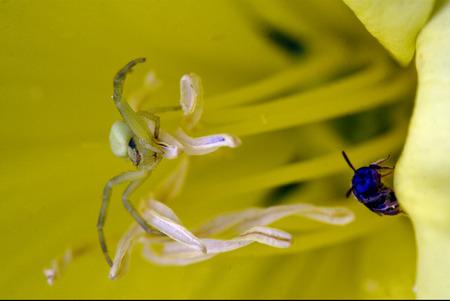 pisauridae: flower web pisauridae pisaura mirabilis agelenidae tegenaria gigantea  thomisidae tibellus oblungus thomisidae heteropodidae heteropods sicariidae loxosceles rufescens  misumena vatia