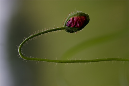 trifolium repens: flowering macro close up of a red  pink rosa canina rosacee  in green background and drop