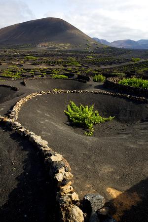 viticulture: cultivation  viticulture  winery lanzarote spain la geria vine screw grapes wall crops Stock Photo