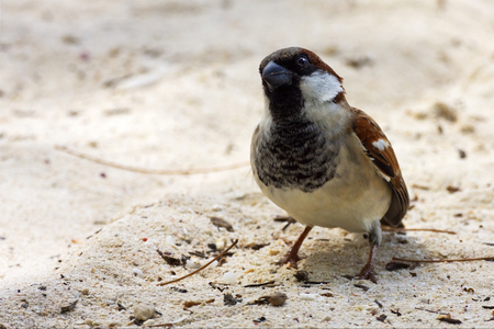 belle: front of little brown  sparrow whit black eye in sand belle mare mauritius Stock Photo