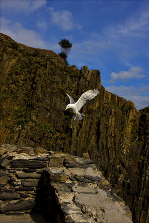 sea gull: the side of sea gull  flying  in the sky of riomaggiore italy