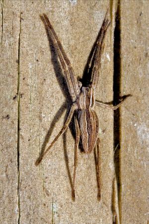 pisaura mirabilis: pisauridae pisaura mirabilis agelenidae tegenaria gigantea  thomisidae tibellus oblungus thomisidae heteropodidae heteropods sicariidae loxosceles rufescens  misumena vatia