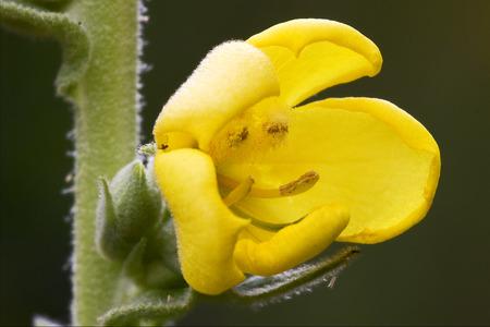 oenothera biennis: primula veris  primulacee  yellow flower oenothera biennis onagracee stricta parviflora erythrosepala crocifere salicina senecio eurucifolius jacobaea erraticus delphinifolius