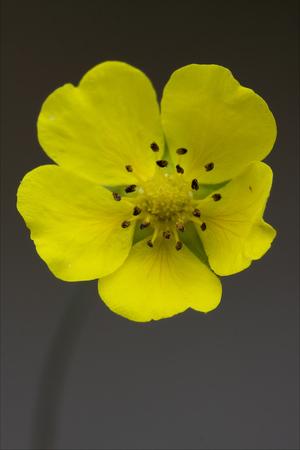 trifolium repens: macro close up of a yellow geum urbanum rosacee leguminose  in grey background