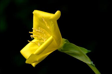 oenothera biennis: yellow flower oenothera biennis onagracee stricta parviflora erythrosepala crocifere salicina senecio eurucifolius jacobaea erraticus delphinifolius