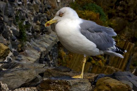 sea gull: the side of sea gull  rest in the rock of riomaggiore italy Stock Photo