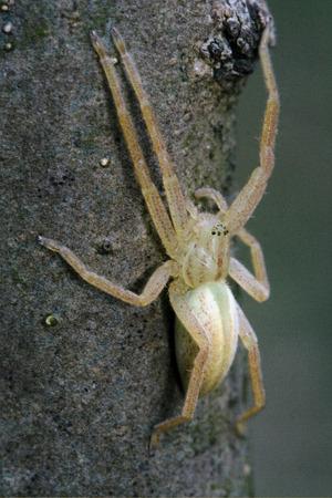 vatia: pisauridae pisaura mirabilis agelenidae tegenaria gigantea  thomisidae tibellus oblungus thomisidae heteropodidae heteropods sicariidae loxosceles rufescens  misumena vatia