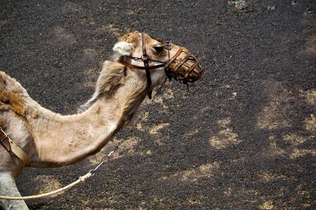 timanfaya: brown dromedary bite in the volcanic timanfaya lanzarote spain africa