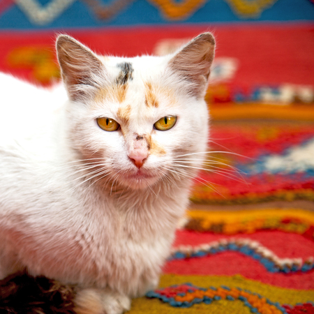 feline: feline in morocco africa and sweet face