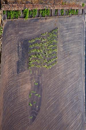 viticulture: anzarote spain la geria vine screw grapes wall crops  cultivation viticulture winery