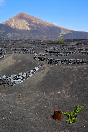 viticulture: grapes wall crops viticulture  winery lanzarote spain la geria vine screw    cultivation barrel