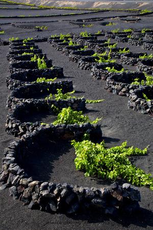 viticulture: grapes cultivation  viticulture  winery lanzarote spain la geria vine screw wall crops Stock Photo