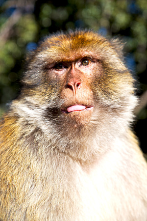 abstract gorilla: old monkey in africa morocco and natural background fauna close up Stock Photo