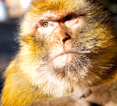 fauna: old monkey in africa morocco and natural background fauna close up Stock Photo