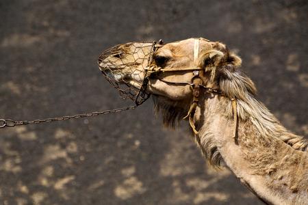 timanfaya: africa brown dromedary bite in the volcanic timanfaya lanzarote spain