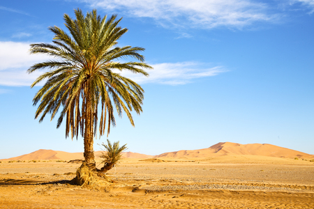 palm in the desert oasi morocco sahara africa dune