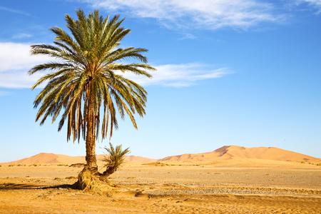 palm in the  desert oasi morocco sahara africa dune Standard-Bild