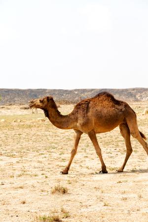 dromedary: dromedary near the sky in oman  empty quarter of desert a  free