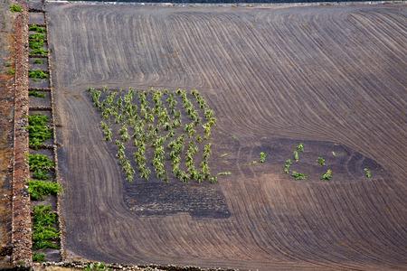 viticulture: lanzarote spain la geria vine screw grapes wall crops  cultivation viticulture winery