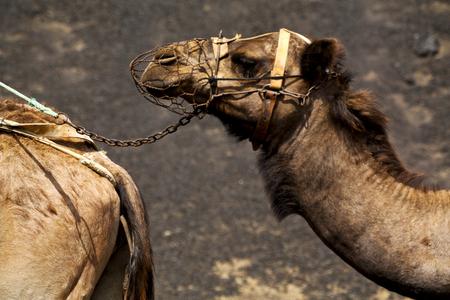 dromedary: spain africa brown dromedary bite in the volcanic timanfaya lanzarote