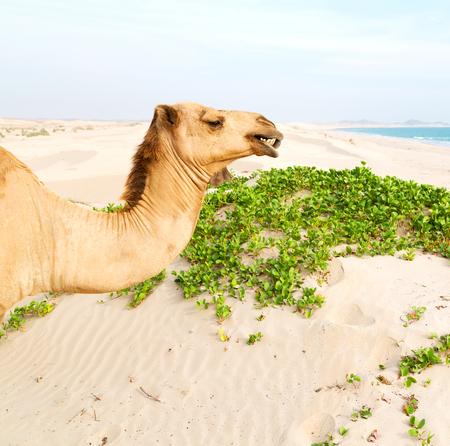 dromedary: in oman empty quarter of desert a free dromedary near the  sea
