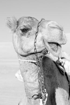dromedary: dromedary near the sky in oman empty quarter of desert a  free Stock Photo