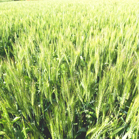 healty: in iran cultivated farm grass and healty green  natural wheat