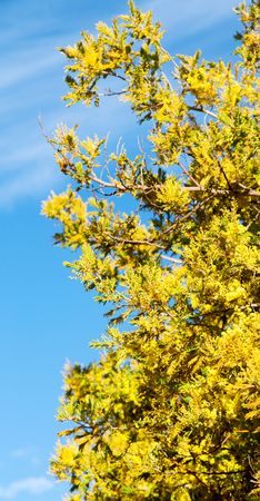 lesotho: in south africa  wildlife  mimosa  plant and tree in the national park Stock Photo