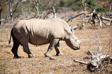 lesotho: blur in south africa   kruger  wildlife    nature  reserve and  wild rhinoceros