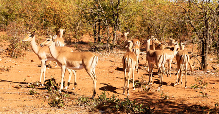 adult kenya: in kruger parck south africa wild impala in the winter bush Stock Photo