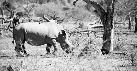 parasites: blur in south africa   kruger  wildlife    nature  reserve and  wild rhinoceros