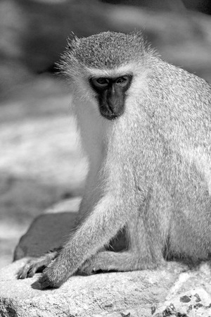 blur in south africa   kruger  wildlife  nature  reserve and  wild monkey Stock Photo