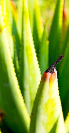 blur  in  south africa  abstract leaf of  cactus plant and light