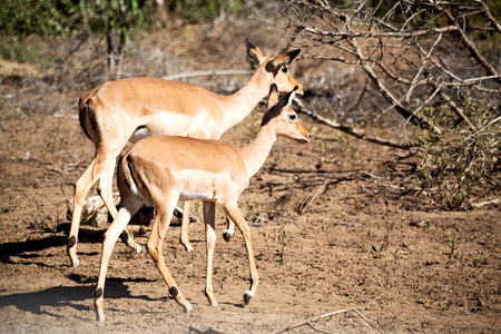 in kruger parck south africa wild impala in the winter bush Stock Photo