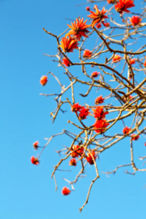 falcata: in south africa close up of erythrina lysistemon flower plant and clear sky Stock Photo