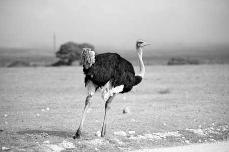 blur in south africa   mlilwane wildlife  nature  reserve and  wild ostrich Stock Photo