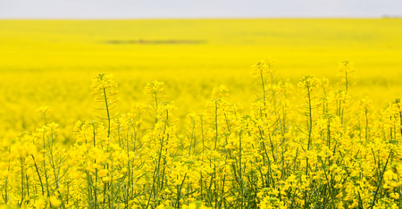 napus: in south africa close up of the colza yellow field like  texture background Stock Photo