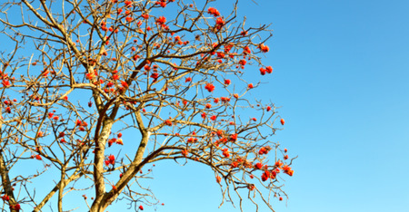 in south africa close up of erythrina lysistemon flower plant and clear sky Stock Photo