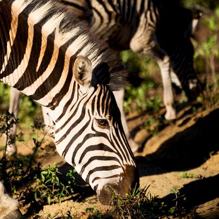 herbivores: blur in south africa   mlilwane wildlife  nature  reserve and wild zebra
