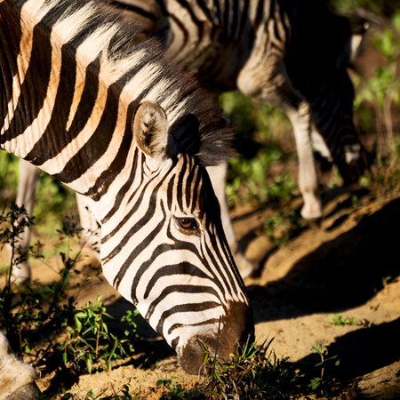 blur in south africa   mlilwane wildlife  nature  reserve and wild zebra
