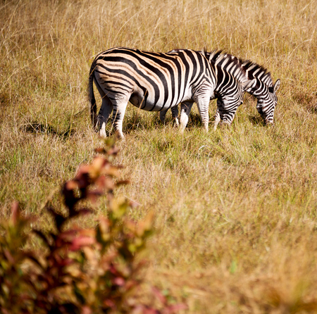 blur in south africa   mlilwane wildlife  nature  reserve and wild zebra