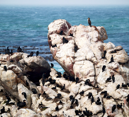 flightless: blur in south africa   bettys bay wildlife  nature  reserve birds  penguin and rocks