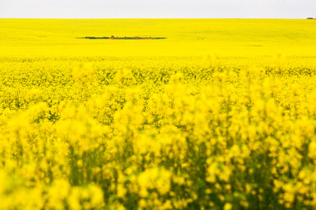 in south africa close up of the colza yellow field like  texture background Stock Photo