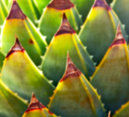 agave: blur  in  south africa  abstract leaf of cactus plant and light Foto de archivo