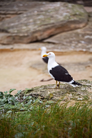 seagull   in south africa   coastline cape of good hope  and natural park reserve
