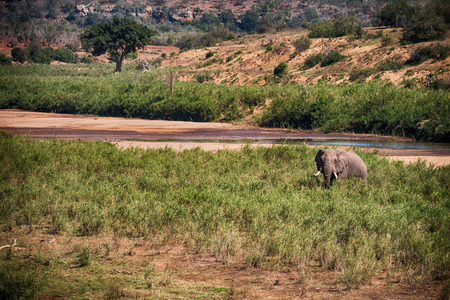 lesotho: blur in south africa    kruger  wildlife  nature  reserve and  wild elephant